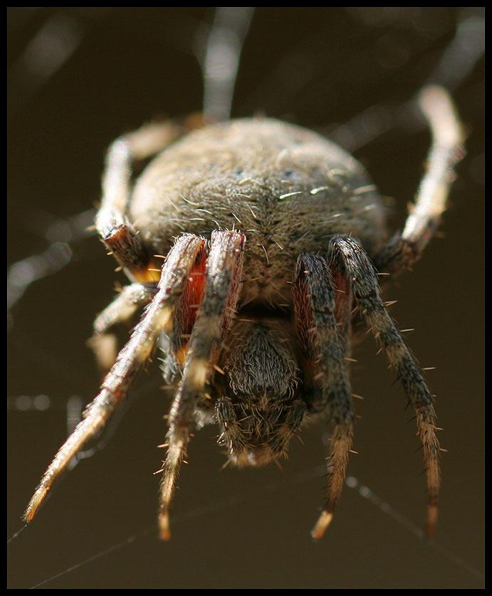 Hillsboro Large Wolf Spider by ocelot99992003
