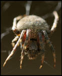 Hillsboro Large Wolf Spider by ocelot99992003