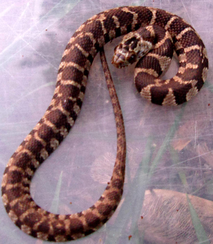 baby northern water snake by fishsticks213 on deviantART
