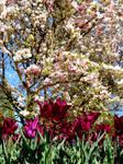 Tulips by callmenotwo