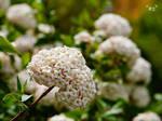 Grossblumiger Duftschneeball