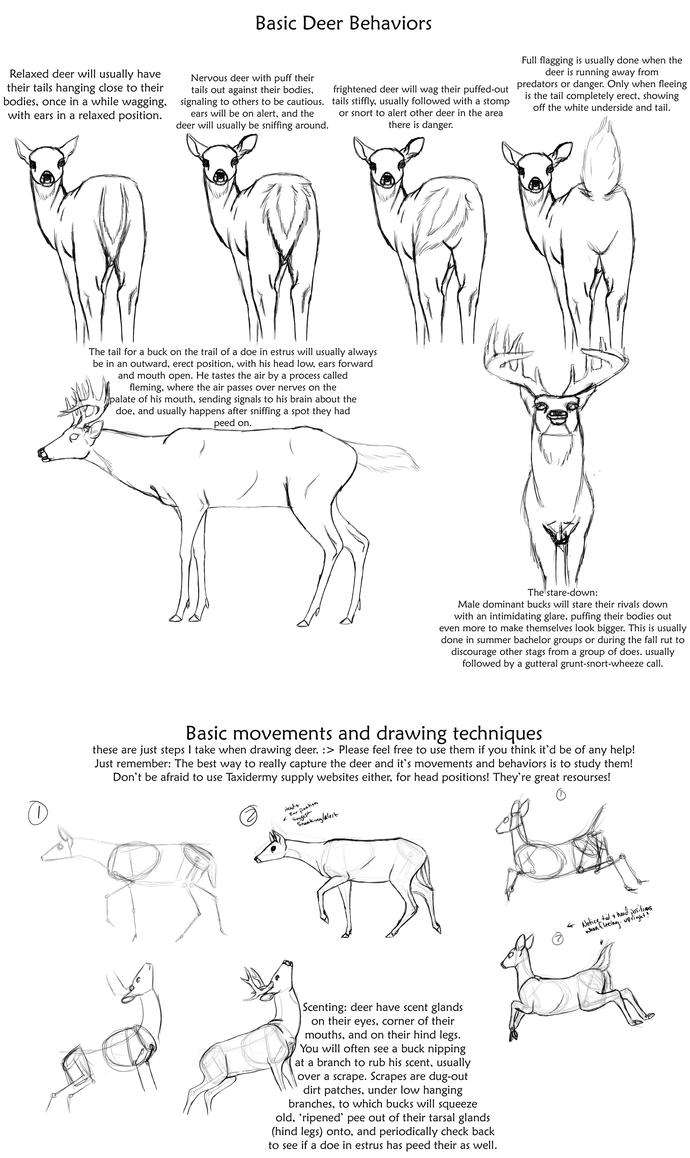 Luxury Deer Anatomy Drawing Crest - Anatomy and Physiology Tissue ...