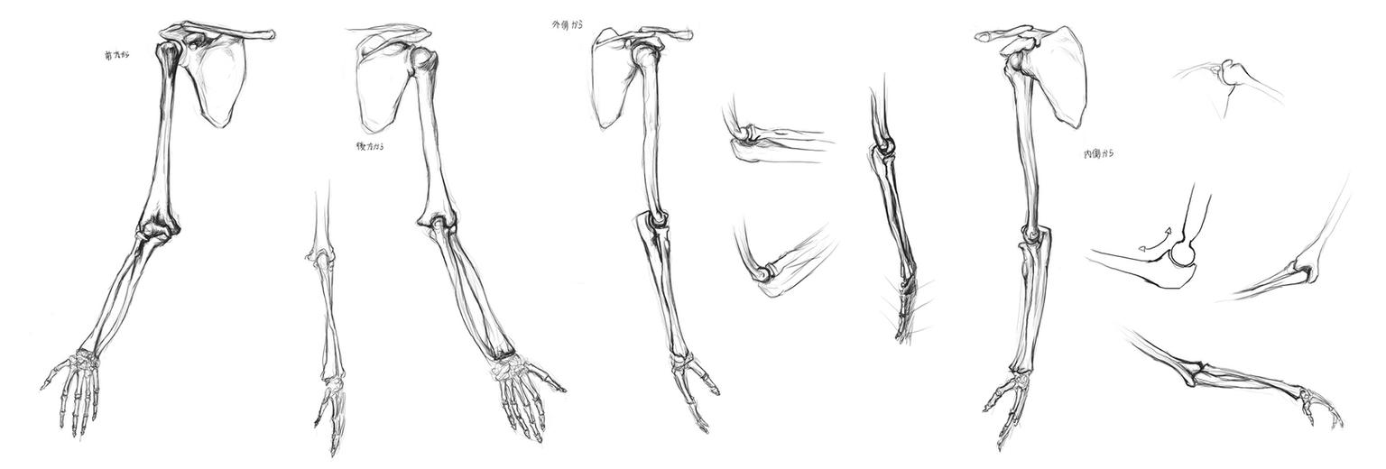 Anatomy Study - arm bones by Call0ps on DeviantArt