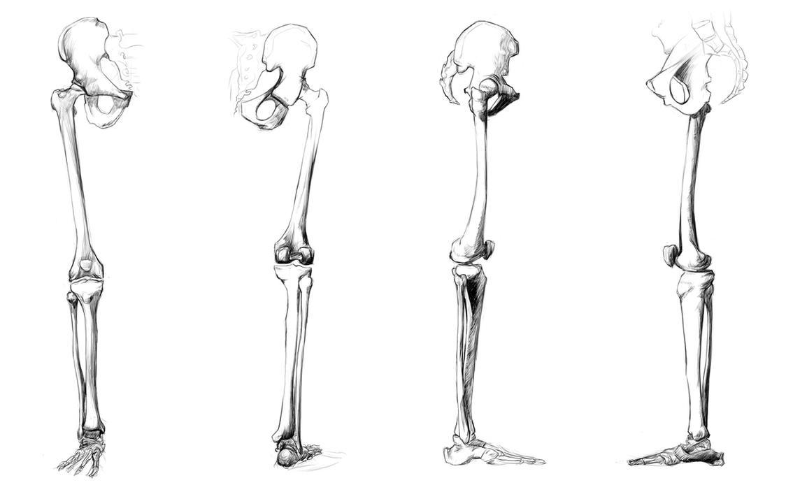 Human Anatomy Leg Bones