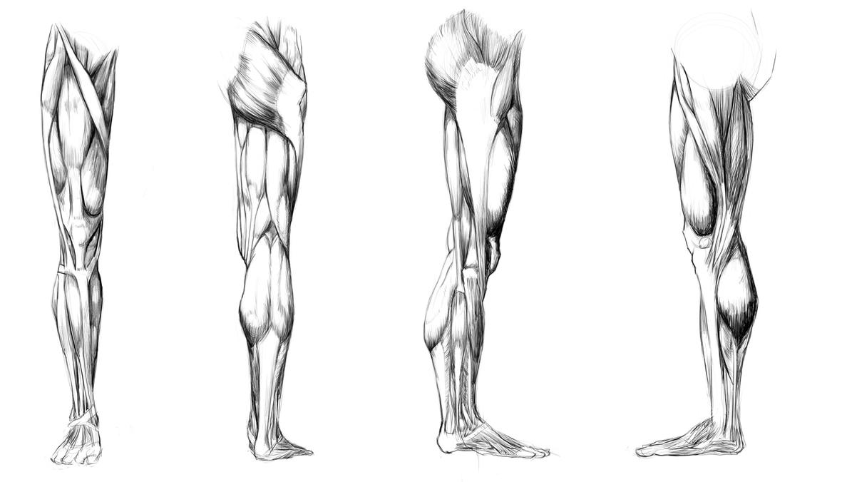 Anatomy Study - leg muscules by Call0ps on DeviantArt