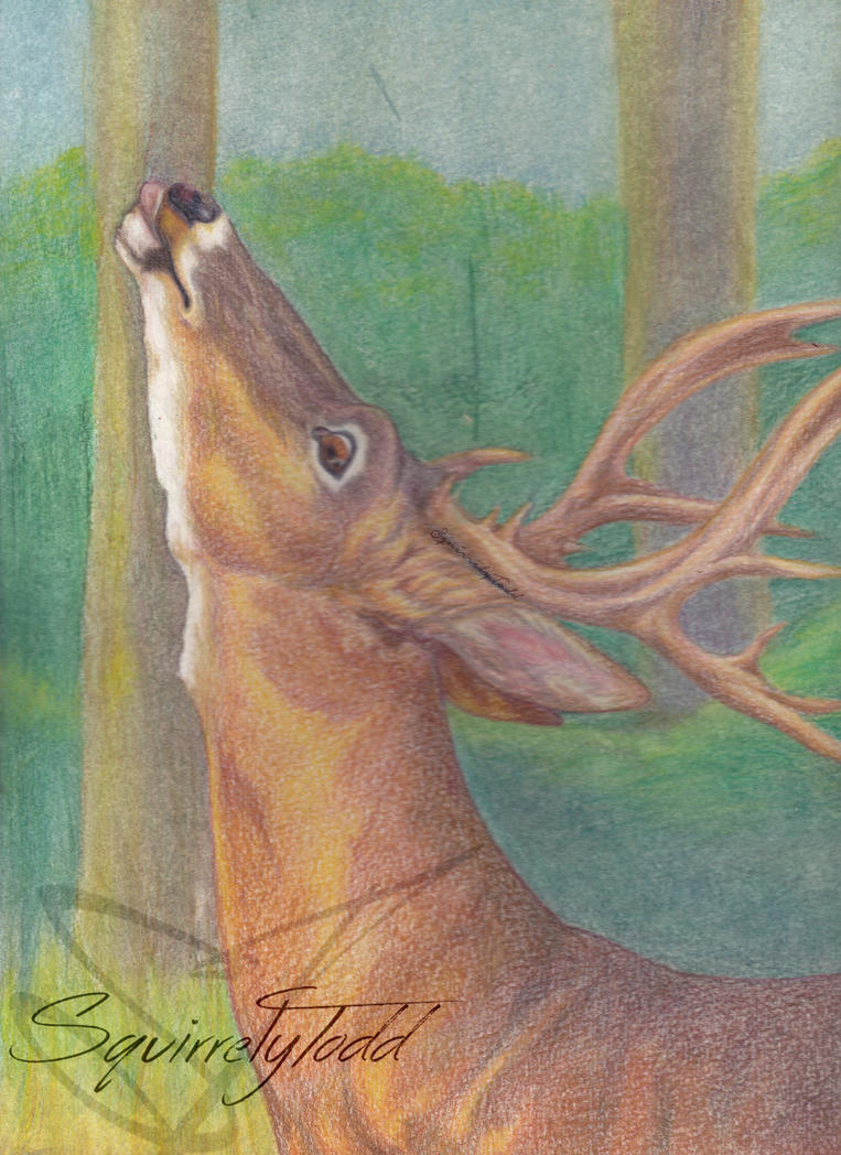 Whitetail Buck by SquirrelyTodd