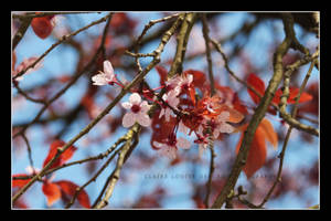 Cherry Blossom by Cloxford