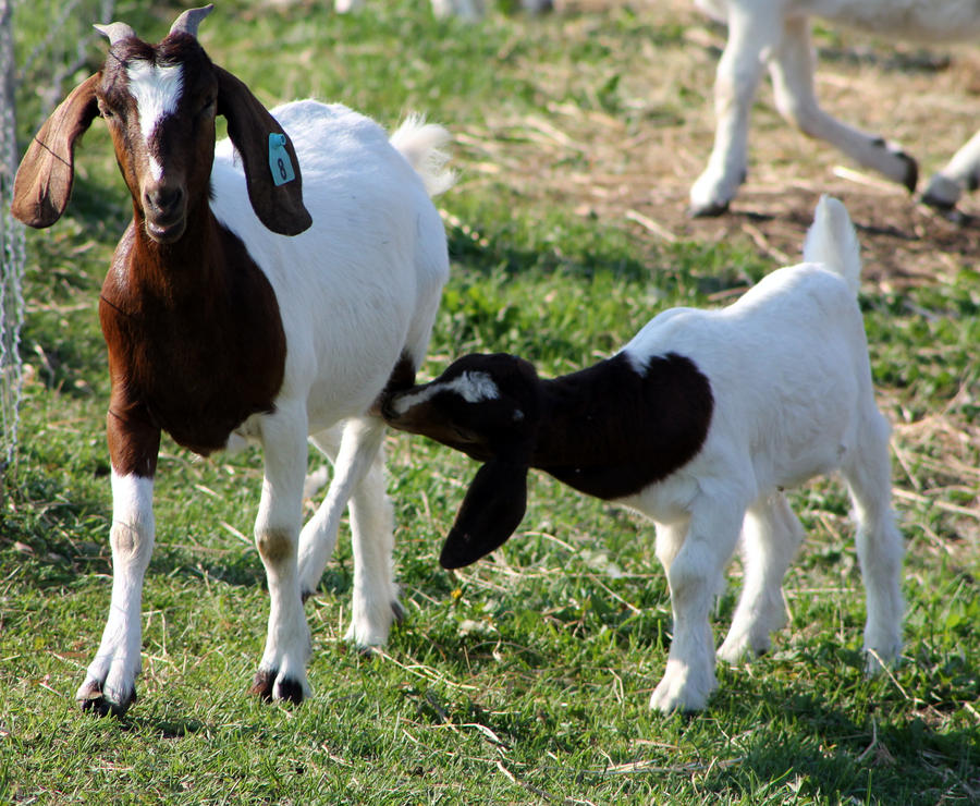 Image result for goat with baby