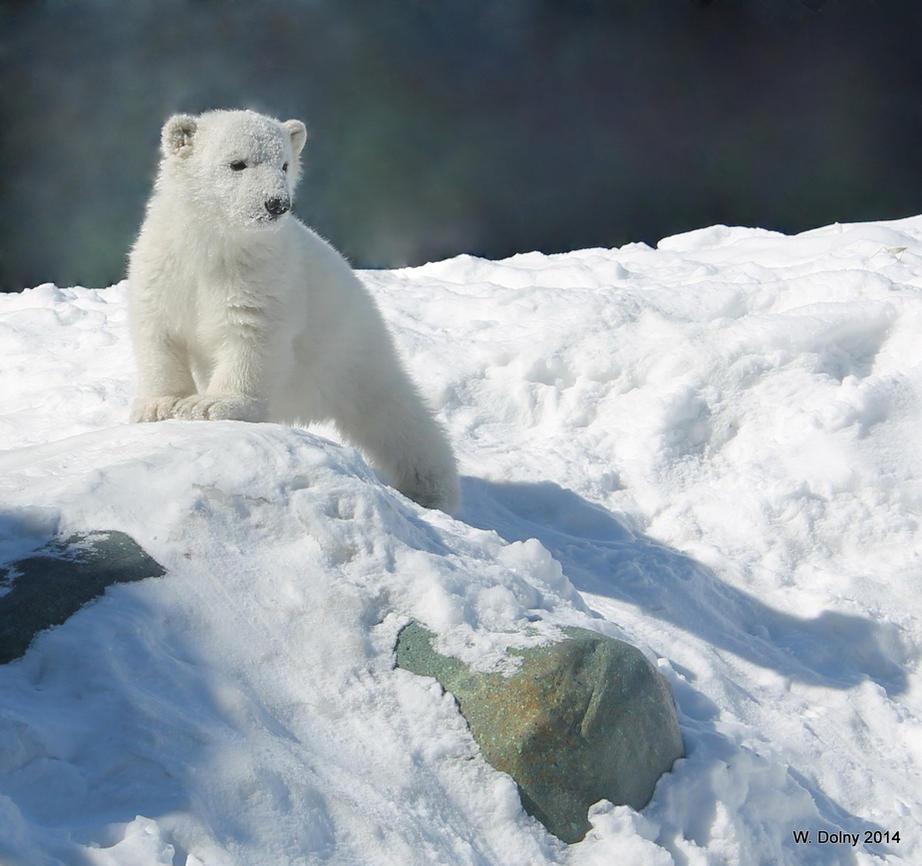 Polar Bear Cub by lenslady