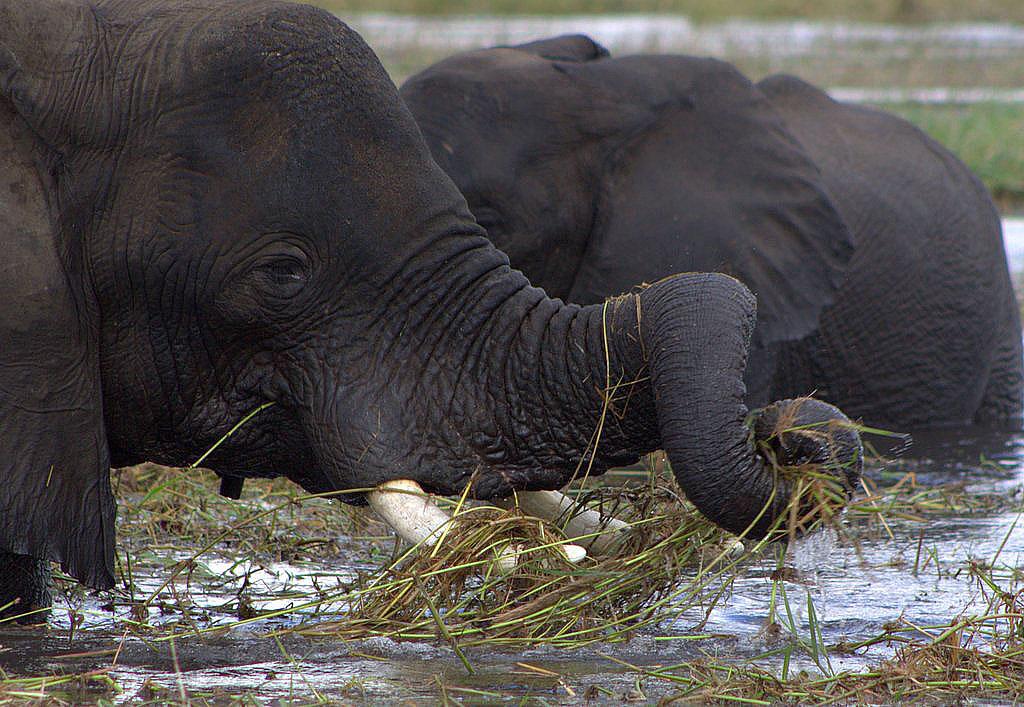Elephant Trunk by lenslady