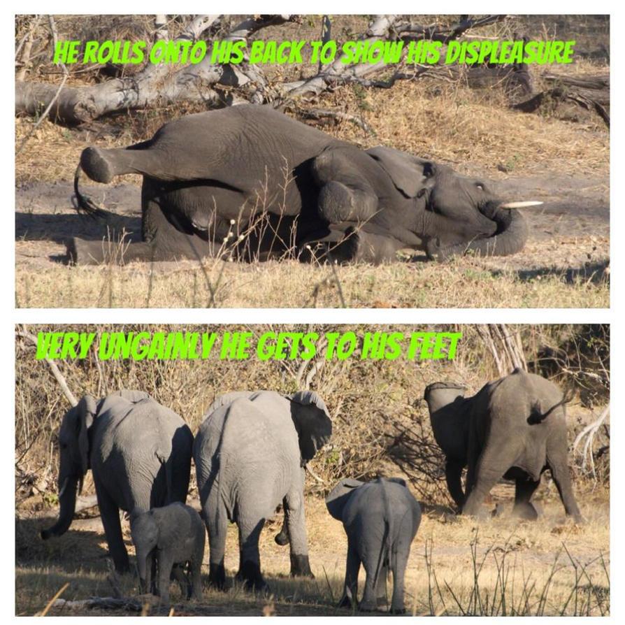 Africa Elephant Temper Tantrum 2 by lenslady