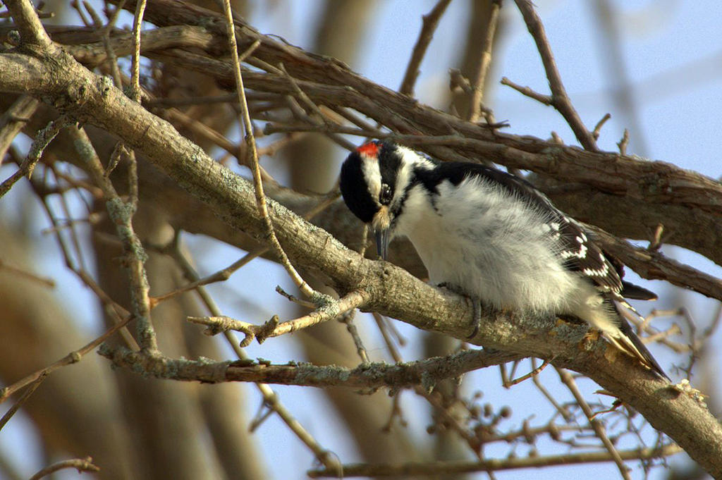 Snowy Woodpecker by lenslady