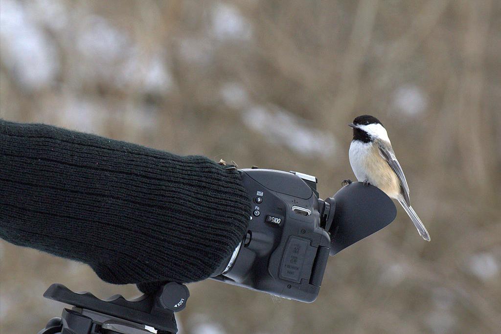 Chickadee Takes a Photo by lenslady