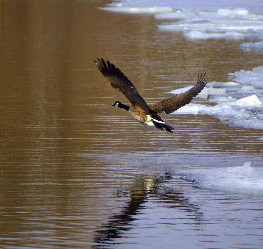 Canada Goose by lenslady