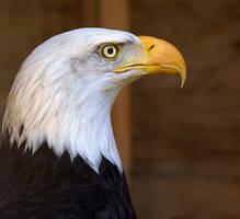 Bald Eagle by lenslady