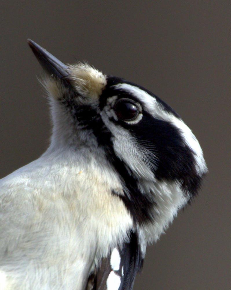 Downy Woodpecker by lenslady