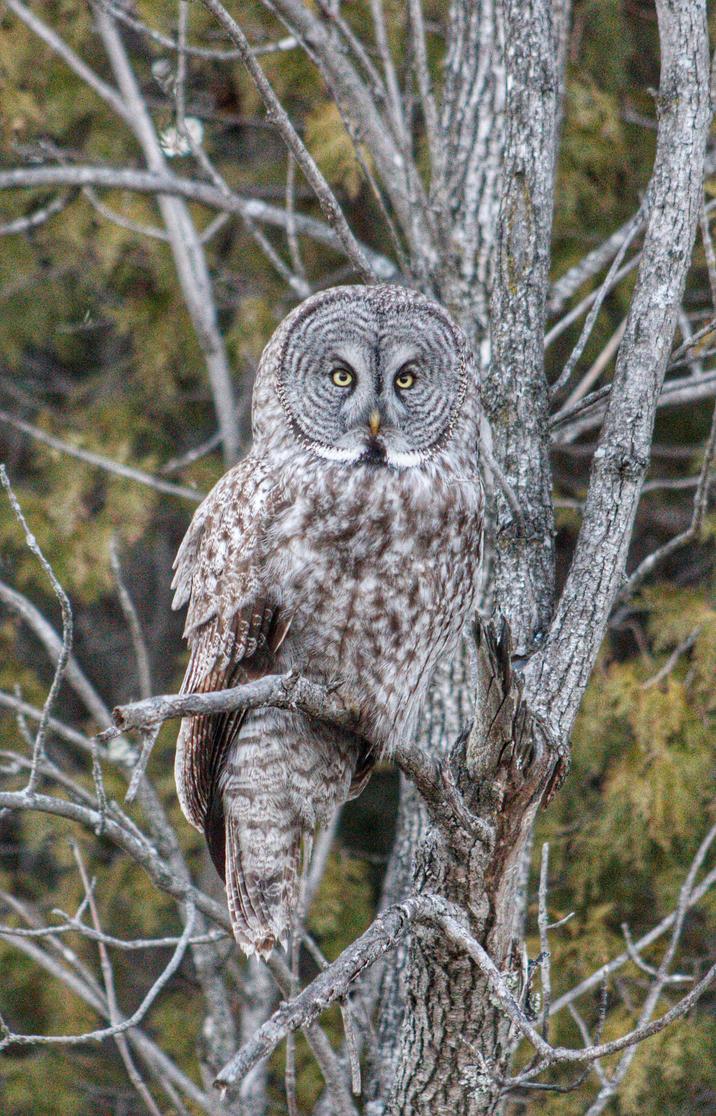 GREAT GRAY OWL 2 by lenslady