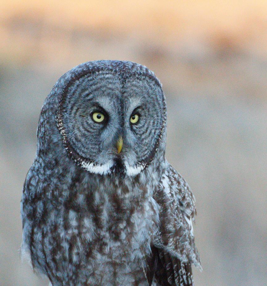 GREAT GRAY OWL 4 by lenslady