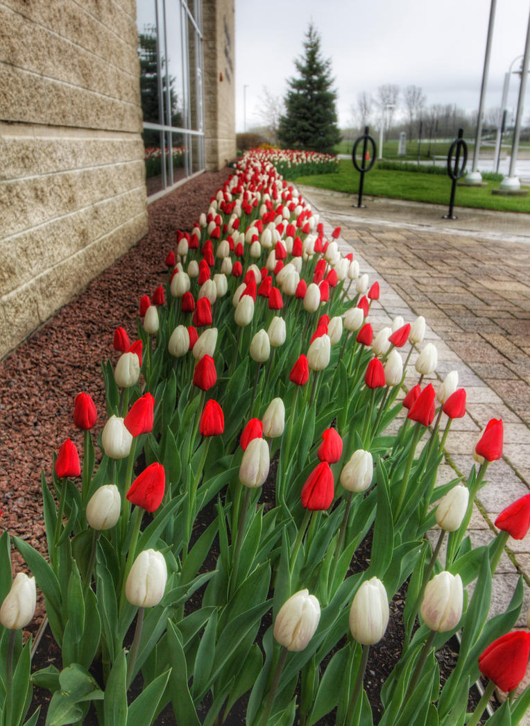TOWN HALL TULIPS by lenslady