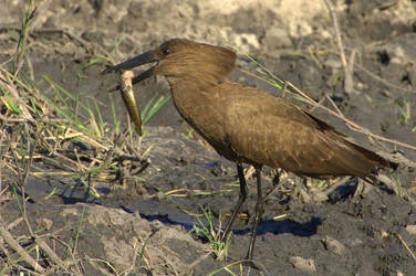 HAMMERKOP WITH LUNCH by lenslady