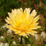 Yellow Flower 1 by MrParts