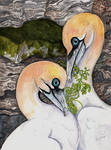 Northern Gannets by Shadowind