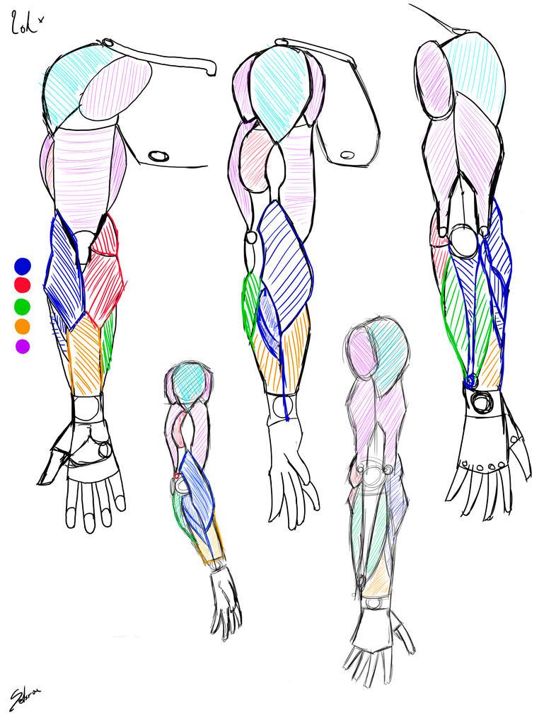 Construccion Anatomia Brazos masculino anatomia ve by Solarcx on ...