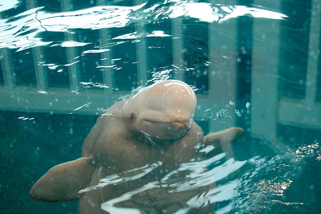 Beluga whales smiling