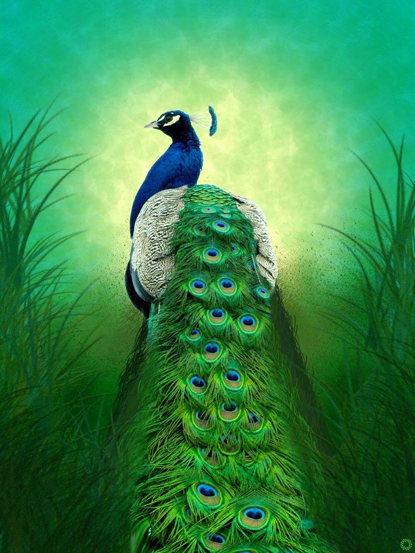 Peacock by Vimsetos
