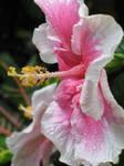 Hibiscus in Profile