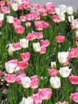 Tulip Heaven 2