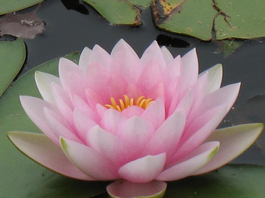 Light Pink Lotus by Jyl22075