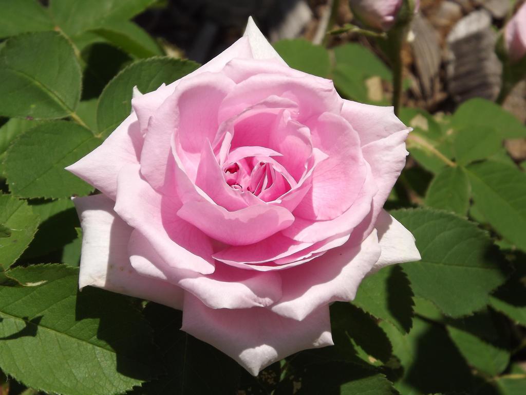 A Single Light Pink Rose By Jyl22075 On DeviantArt