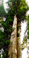 Redwood Panorama 02 by X-tremeGraphics