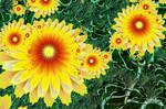 Cactus Flowers by Shadoweddancer
