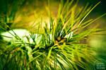 Pine Spice