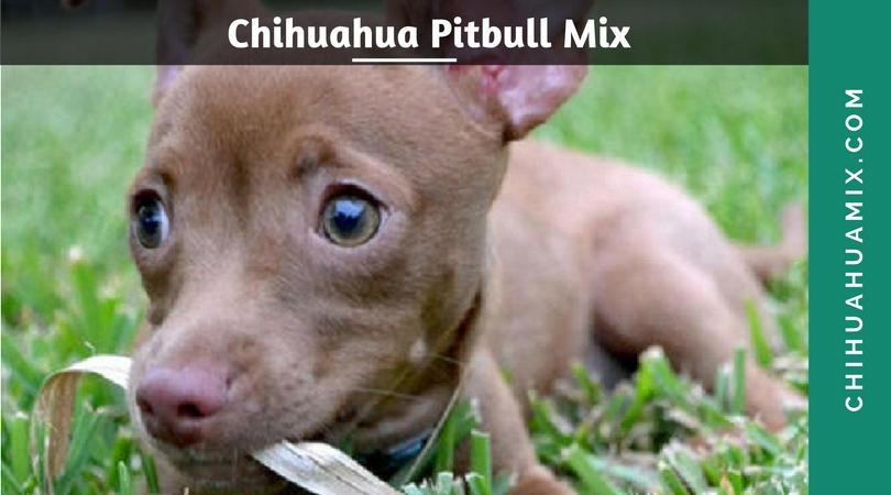 Chipit: Pitbull Chihuahua Mix by ichihuamix on DeviantArt