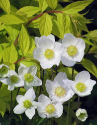 anemone sylvestris 3