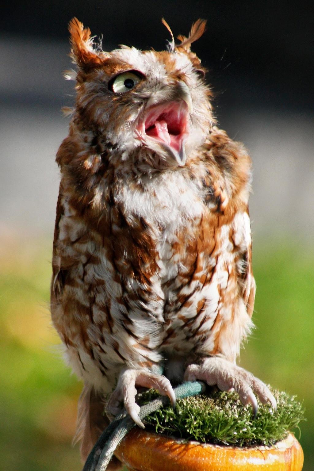 Screech Owl 4 by ravenofthenight