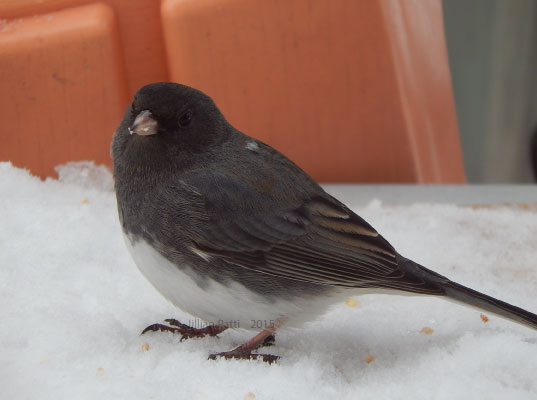 Junco by JillTheCrazy1