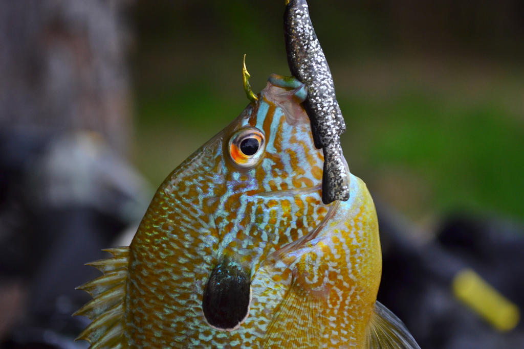 Related keywords suggestions for sunperch for Sun perch fish