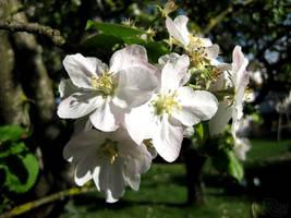 Apple Tree Flowers by Lissou-photography