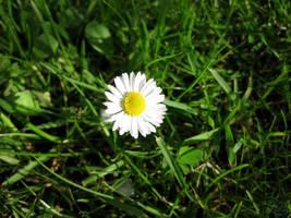 Daisy Taking Sun on Grass by Lissou-photography