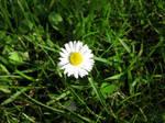Daisy Taking Sun on Grass