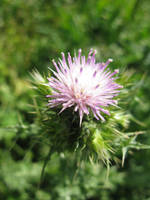 Thistle by Lissou-photography