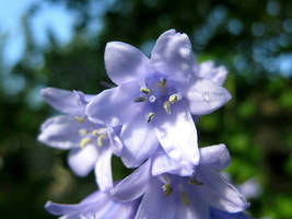 Hyacinth with Dew Pearls by Lissou-photography