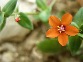Little Orange Flower by Lissou-photography