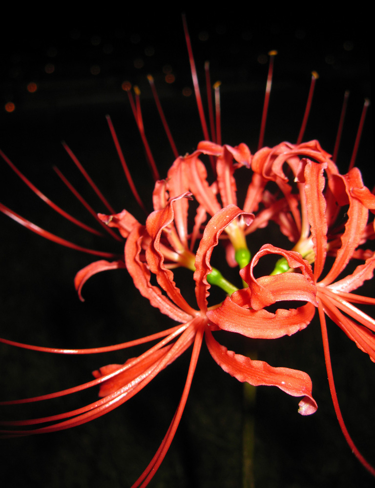 Red Chrysanthemum by Lissou-photography