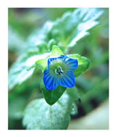 Sweet Little Blue Flower by Lissou-photography