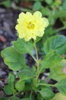 Yellow dahlia by Lissou-photography